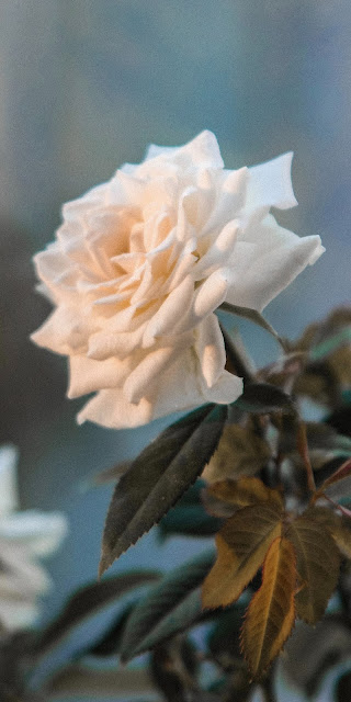 The purity of white rose