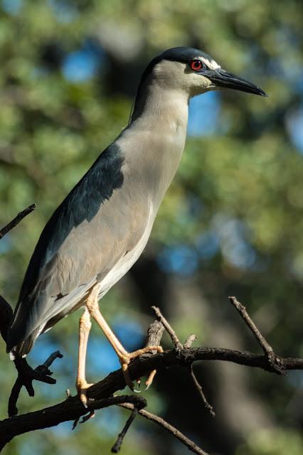 Black-crowned Night-Heron, UT Southwestern Medical Center Rookery
