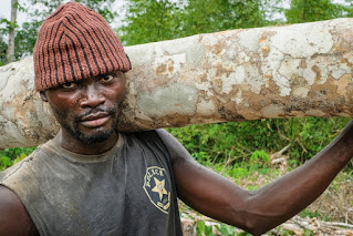 Congolese man carrying a small tree trunk to make a drum.