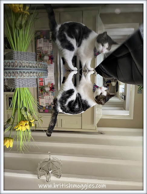 Friday Fluffers ©BionicBasil® Melvyn's Topsy Turvey Wurld www.britishmoggies