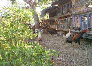 Model Kandang Ternak Ayam