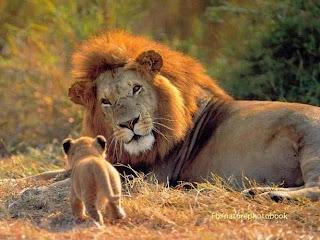 Leones madre e hijo cachorro