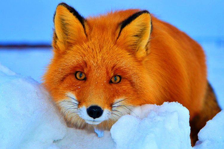 Yaşayan 12 gerçek tilki türü vardır, zaman zaman benzer bazı türlerle karıştırılmaktadır.