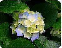 Hydrangeas.Image