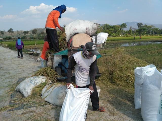 Mesin Panen Padi Kini Bisa Mendekat Di Sawah Desa Jimbung