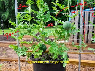 """growing tips watermelon in container"",""pruning tips watermelon leaves"",""easy guide planting watermelon"""