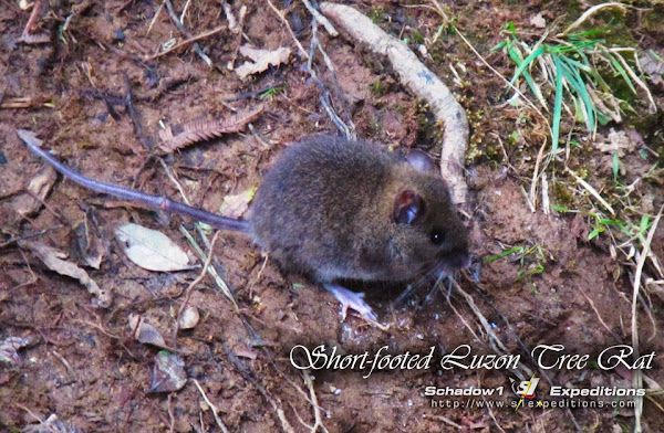 Dwarf Cloud Rat - Short Footed Luzon Tree Rat - Pulag - Schadow1 Expeditions