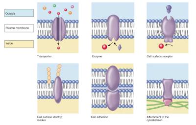 protein membran