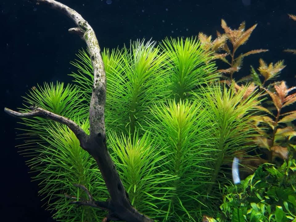 Cây Liễu Bông trong hồ thủy sinh của bạn Võ Toàn