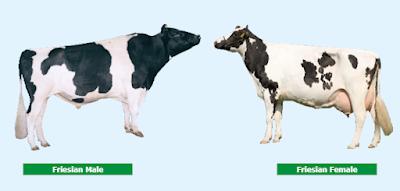 Holstein breed characteristics