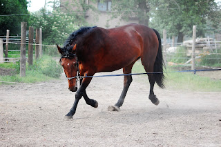 Bright bay horse being lunged, working long and low in an outdoor riding school