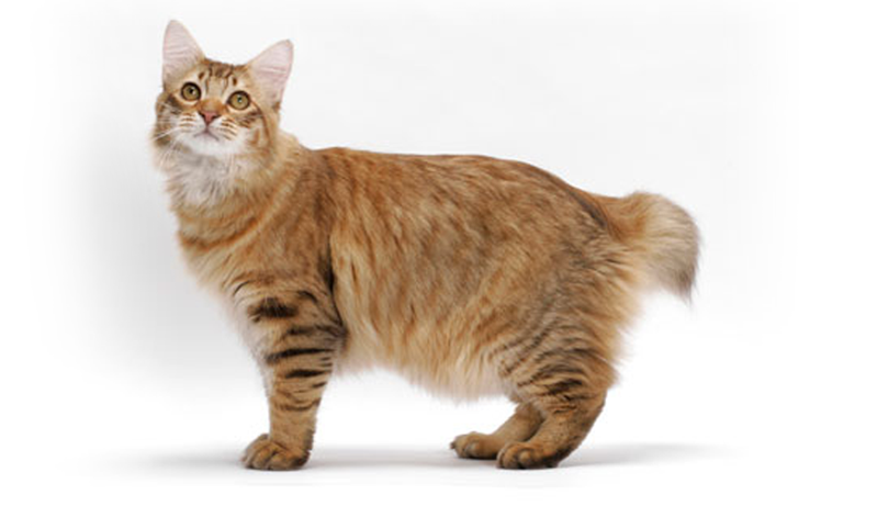 American BobtailCat Breed Guide – Characteristics, Health and Care