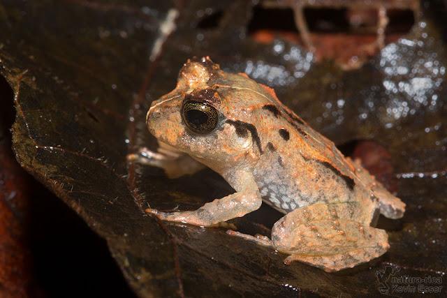 Craugastor megacephalus - Broad-headed Rain Frog