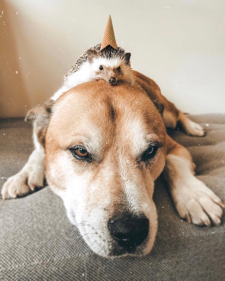 Heartwarming Pictures Depict The Friendship Between A Bengal Cat And A Hedgehog