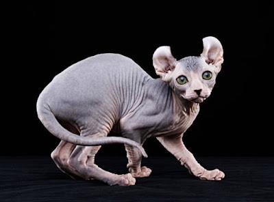 Jenis Kucing Elf