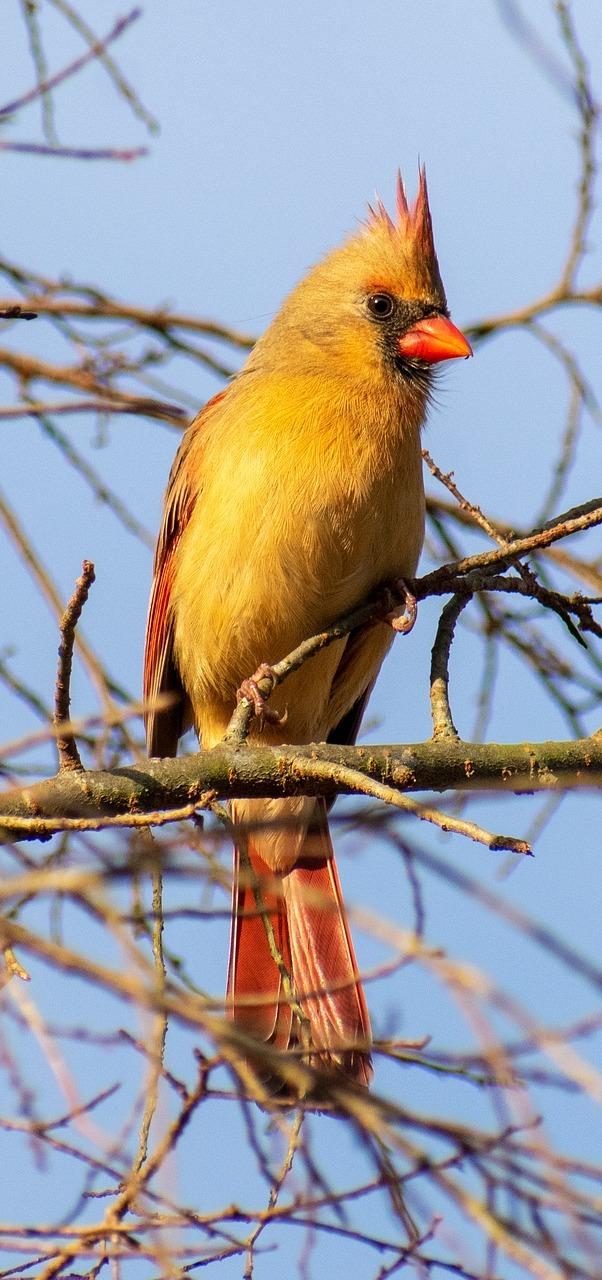 A female cardinal bird.