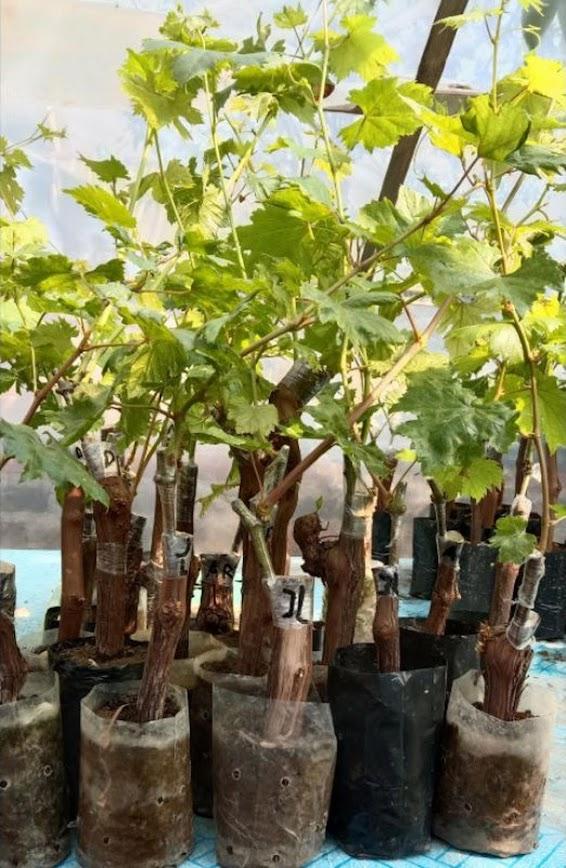 Bibit Anggur Julian Anggur Impor Julian Kalimantan Tengah