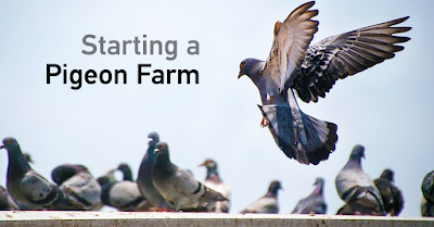 Pigeon farming as business