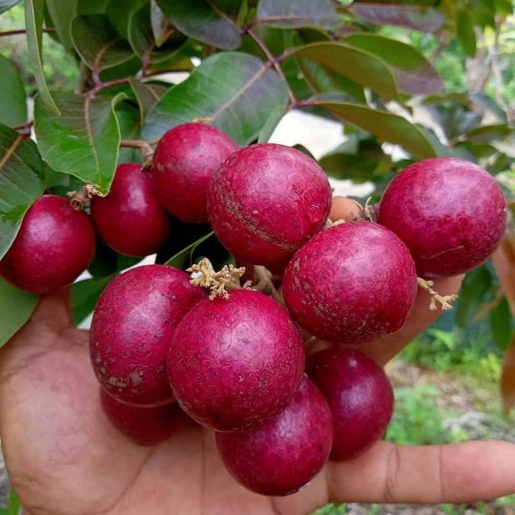 bibit kelengkeng merah kondisi berbunga Madiun