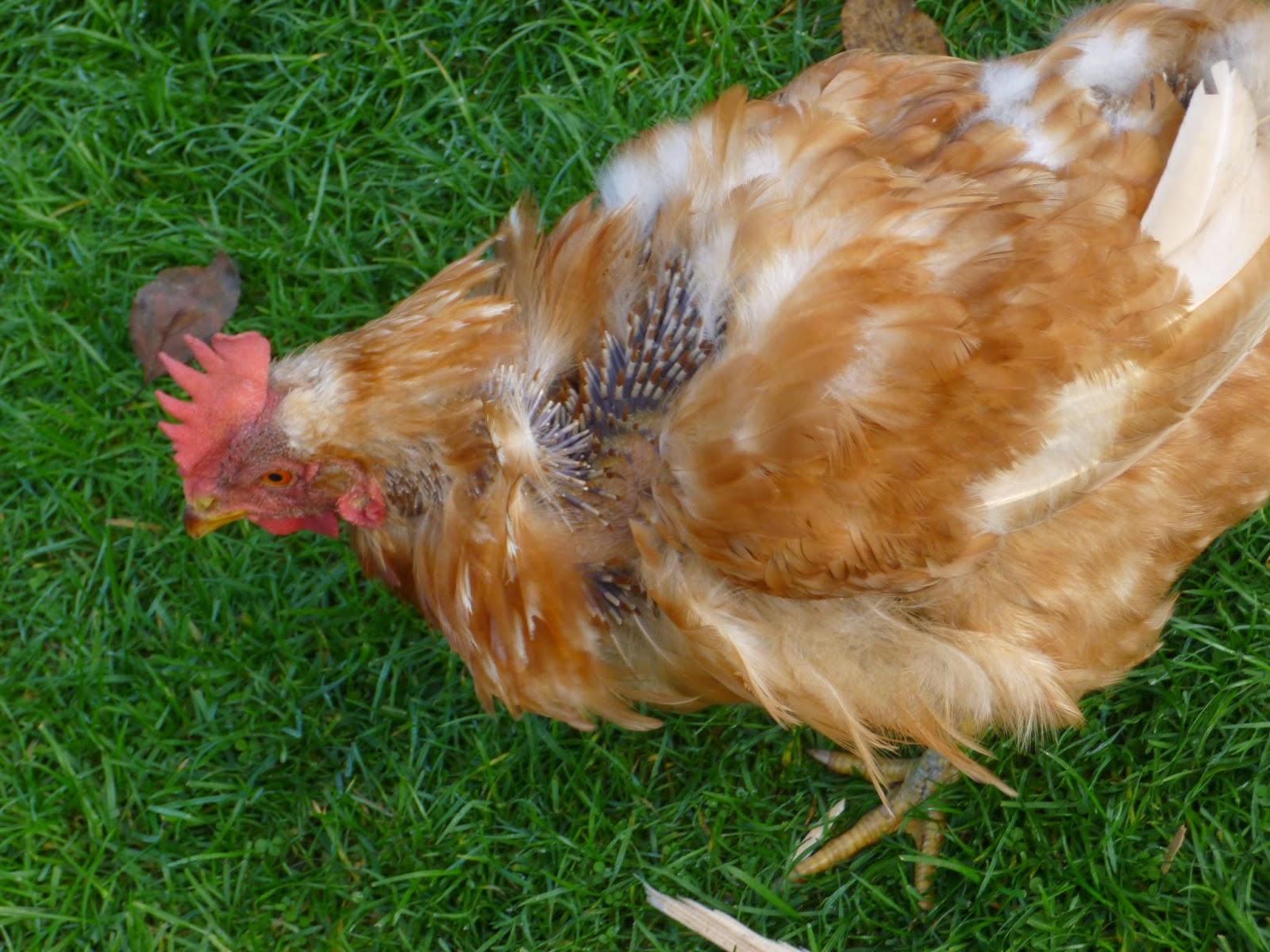 wann kommen hühner in die mauser