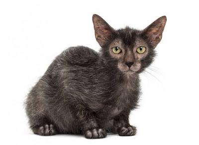 Jenis Ras Kucing Lykoi