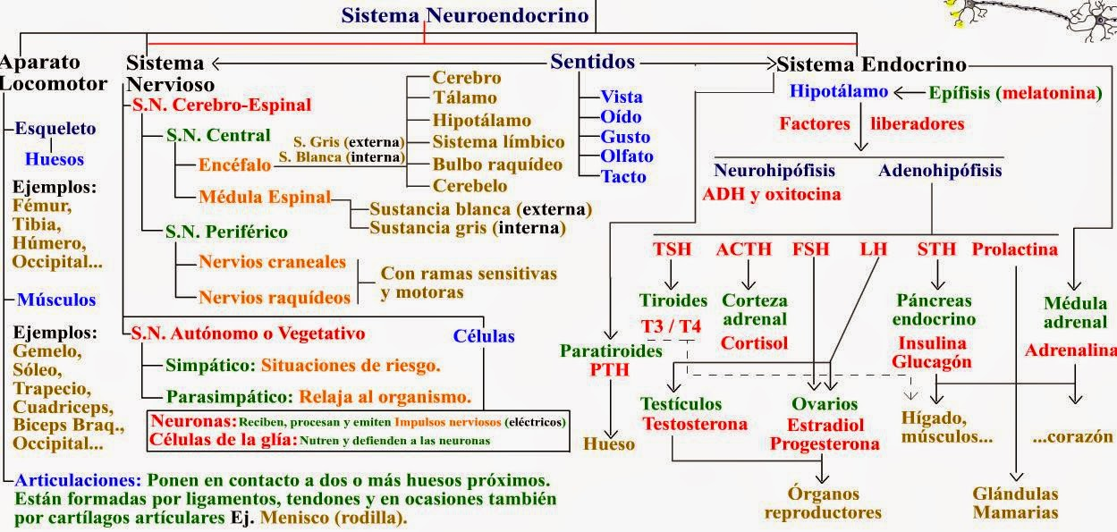 biologia2bachcamp: 3º ESO. TEMA 10. EL SISTEMA ENDOCRINO