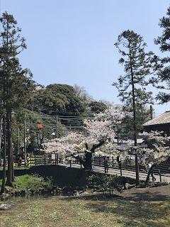 北鎌倉駅周辺の桜その2