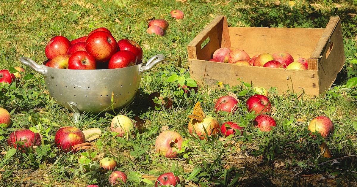 la cueillette des pommes et autres fruits d 39 automne et. Black Bedroom Furniture Sets. Home Design Ideas