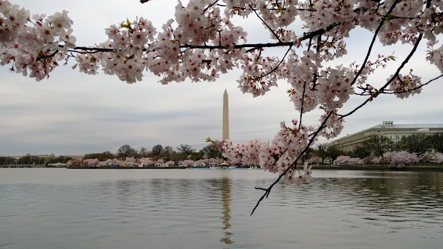Цвітіння сакури у Вашингтоні, округ Колумбія (Cherry Blossom in Washington, D.C.)