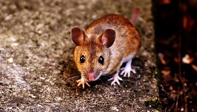 Cara mencegah dan membunuh tikus secara efektif di rumah