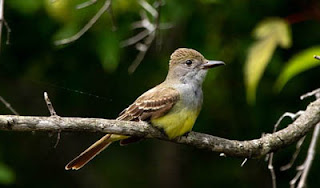 Photo of Great Crested Flycatcher on branch