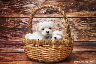 Una cucciolata di maltesi in una bella cesta