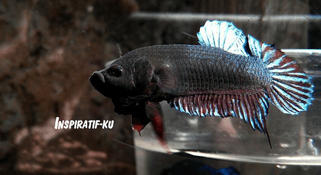 Ciri-ciri ikan cupang yang layak mendapatkan pelatihan yang khsusu