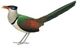 Neomorphus pucheranii