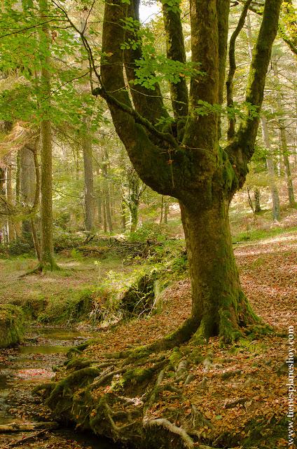 Hayedo de Otzarreta euskadi lugar otoño bonito