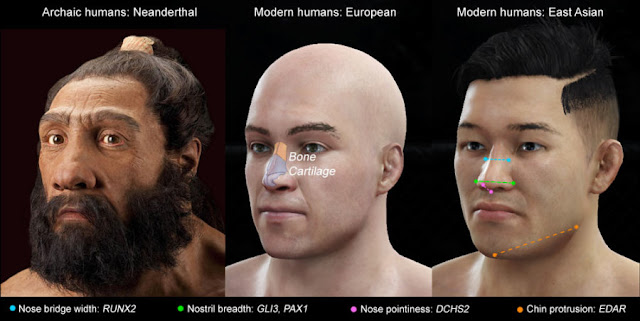 Genes for nose shape found