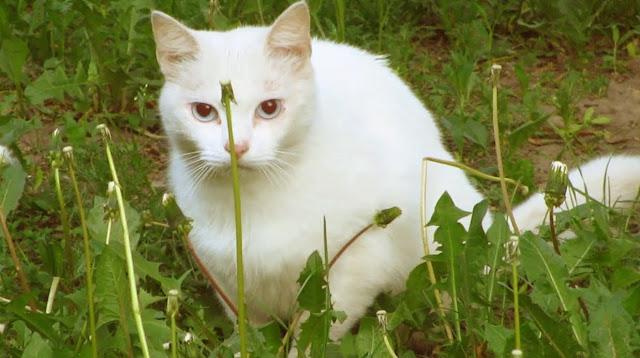 mimpi kucing putih