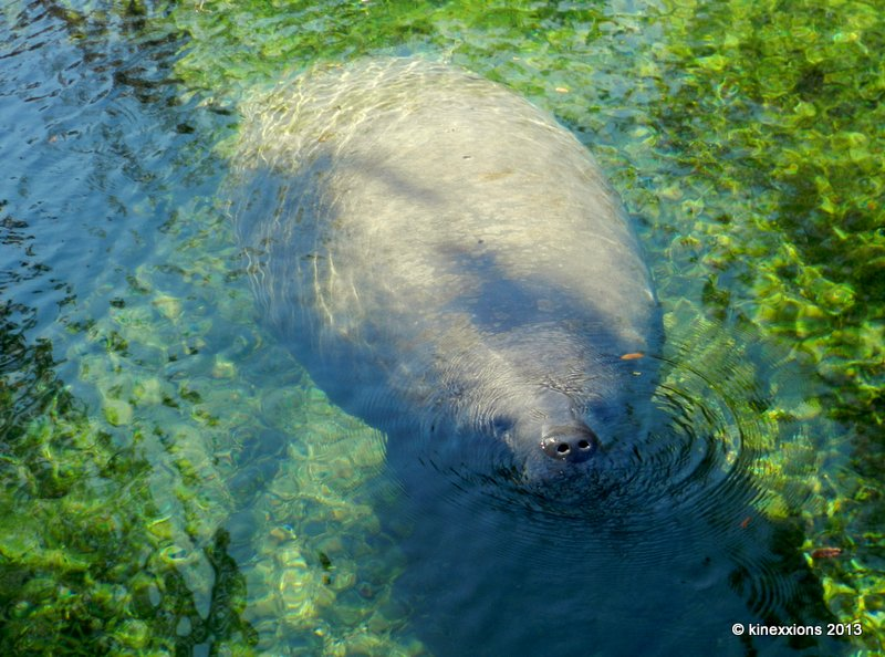 Algae In Water >> kinexxions: The Manatees of Blue Spring