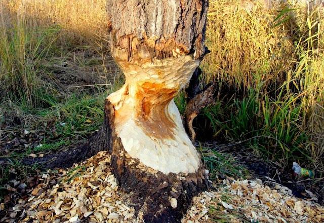 Дерево надгризене бобрами