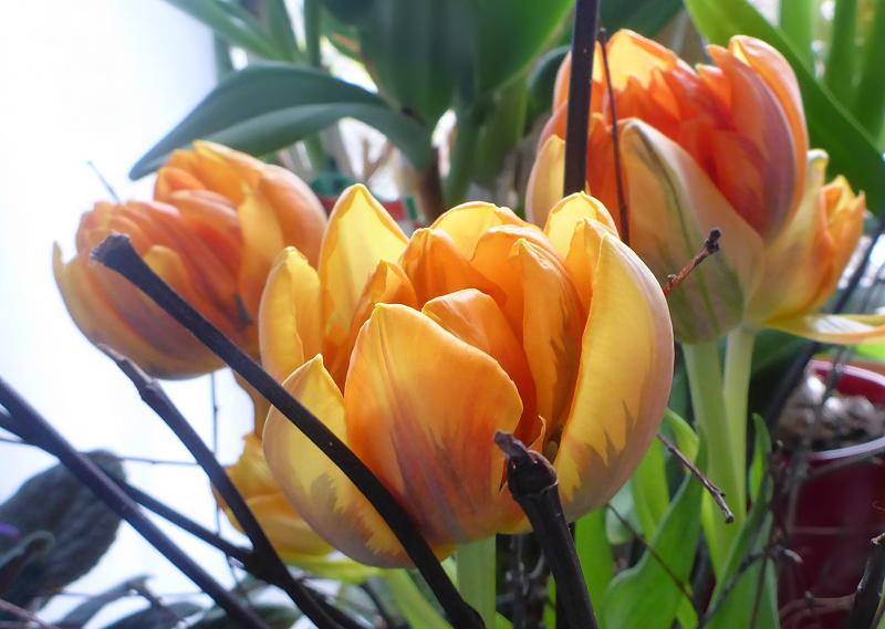 meine gr ne leidenschaft tulpen trocknen haltbar machen. Black Bedroom Furniture Sets. Home Design Ideas