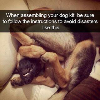 alsatian dog folded up on sofa