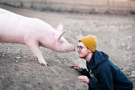 Porcos conseguem jogar videogame: eles também conseguem usar joystick