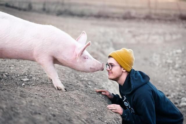 Porcos jogando video games