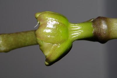 pąk storczyka phalaenopsis