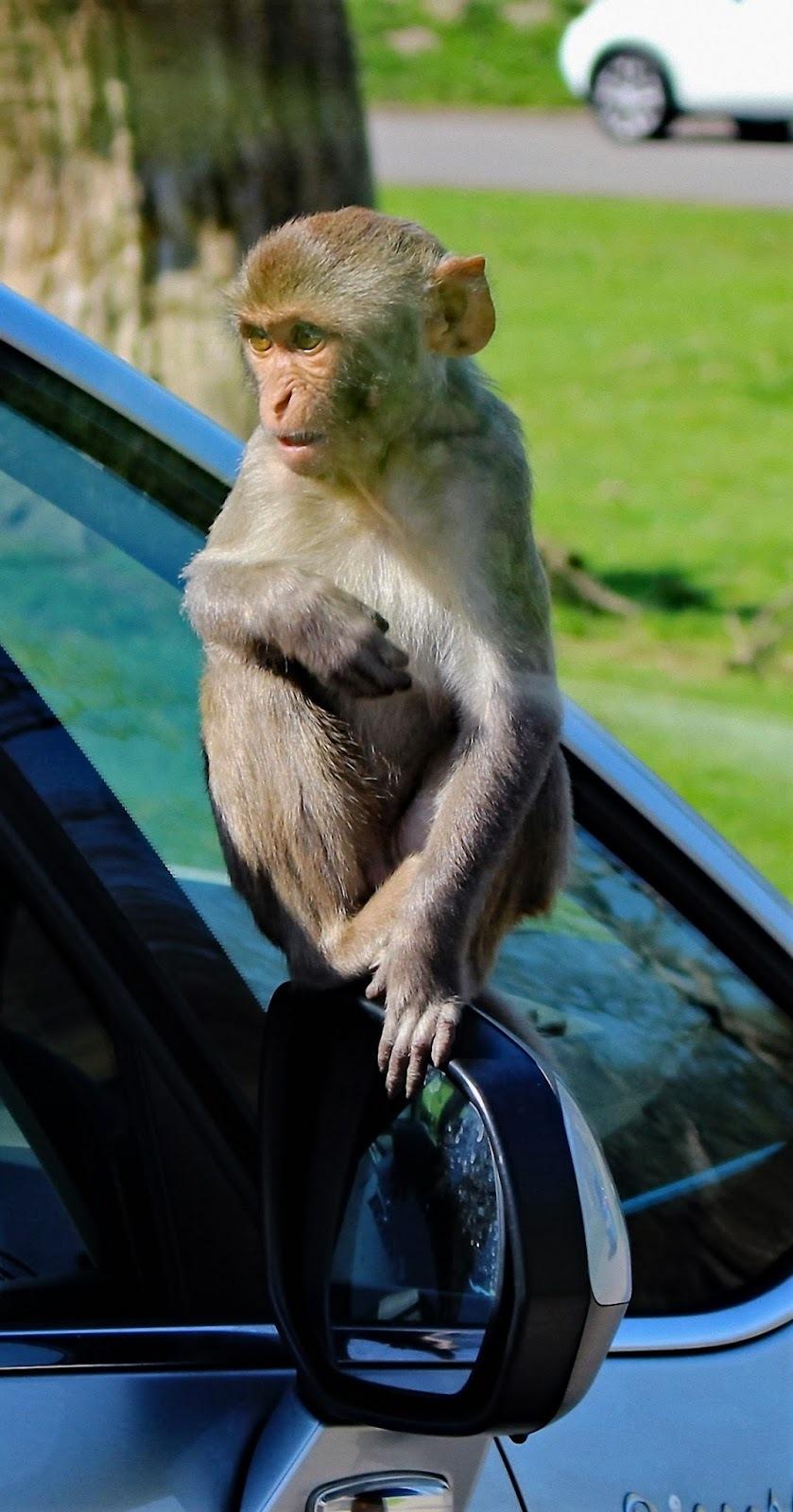 Rhesus-monkey.
