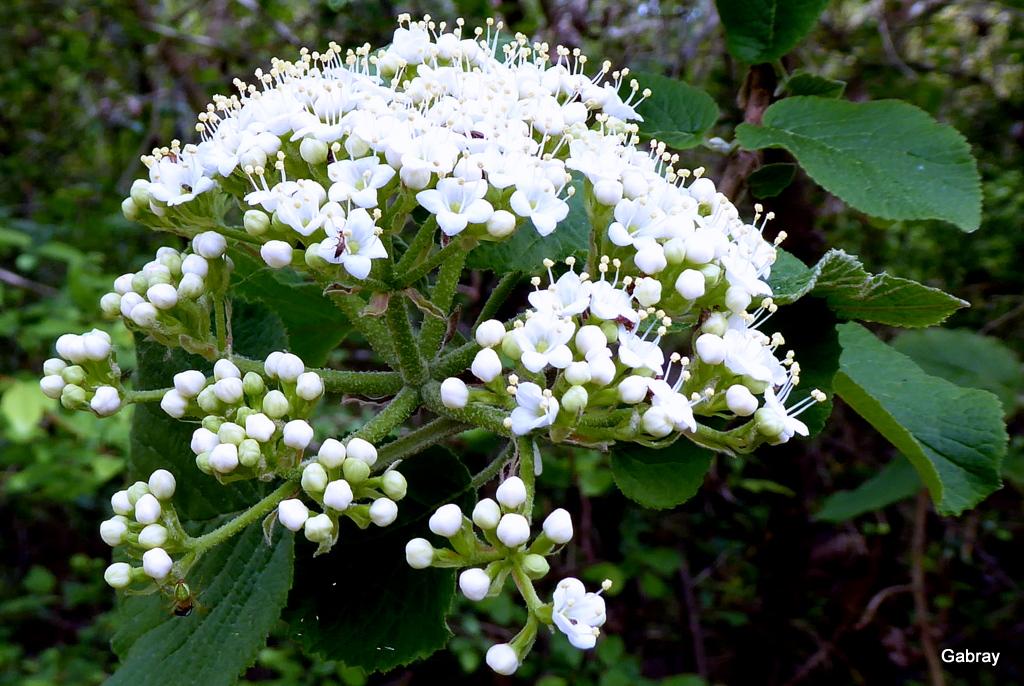 EN-TOLOSAN: Ombelles aux petites fleurs blanches