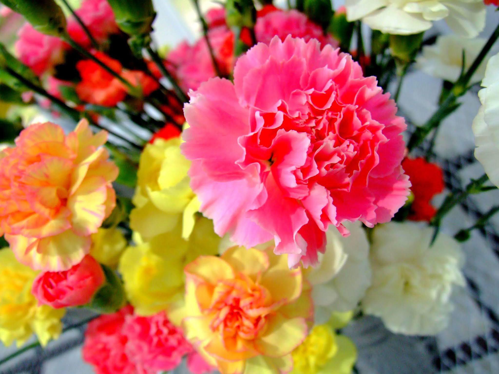 ビビットなピンクと黄色と白のコントラストが美しい、カーネーションの花束の写真素材です。母の日のアイキャッチなどにおすすめですよ。