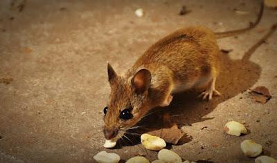 Cara Mengusir Tikus yang Mudah Hanya Dengan Bumbu Dapur