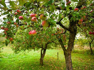 яблоки-естественное питание
