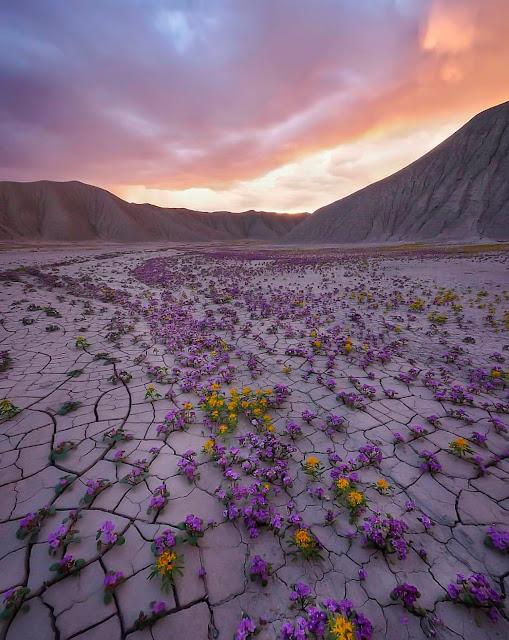 flores moradas en el desierto y atardecer de fondo